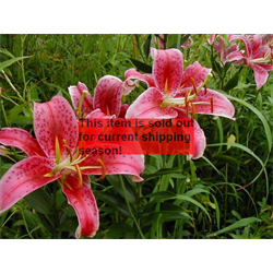 *SOLD OUT* Lily Oriental Stargazer (5 plants per pkg - Ships Oct thru June)