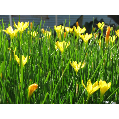Zephyranthes citrina (25 bulbs / pkg)