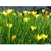 Additional images for Zephyranthes citrina (25 bulbs per pkg - Ships
