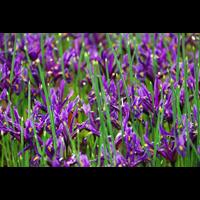 Dwarf Iris reticulata  'J S Dijt' (25 bulbs per pkg - Ships Oct thru Jan)
