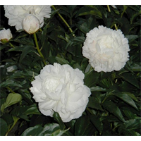 Peony Shirley Temple (3 bulbs per pkg - Ships Oct thru Jan)