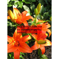 *SOLD OUT* Lily Asiatic Orange (5 bulbs per pkg - Ships Oct thru June)