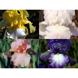Bearded Iris Collection (20 plants per collection - Ships Oct thru Jan)