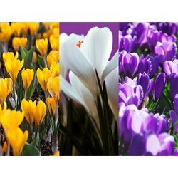 Crocus vernus Collection (150 bulbs per collection - Ships Oct thru Jan)