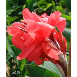 Canna Giant Crimson Beauty (5 bulbs per pkg - Ships March thru June)