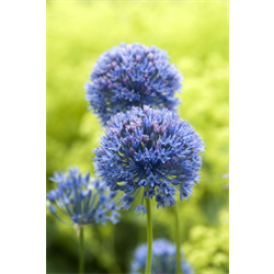 Allium azureum (25 bulbs / pkg - ships Oct thru Jan)