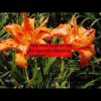 Daylily Kwanso (5 plants per pkg - Ships Oct thru June)
