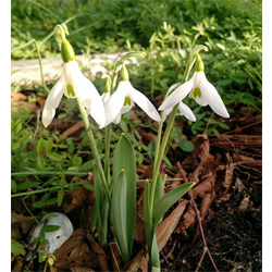 Galanthus elwesii (10 bulbs per pkg - Ships Oct thru Jan)