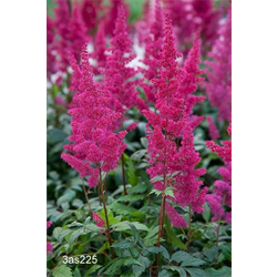 Astilbe Red (3 bulbs per pkg - Ships Oct thru June)