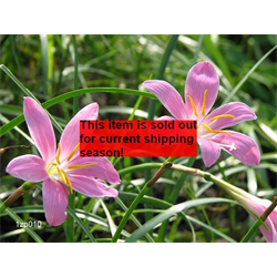 *SOLD OUT* Zephyranthes robustus (25 bulbs per pkg - Ships March thru June)