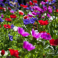 Anemone coronaria De Caen Mixture (25 bulbs / pkg - Ships Oct-June)