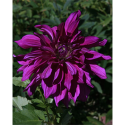Dahlia Purple Taiheijo (3 plants per pkg - Ships March thru June)