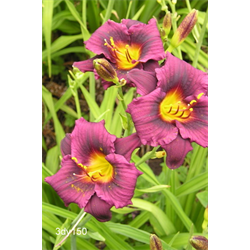 Daylily clump Grape Magic (Ships Oct thru June)