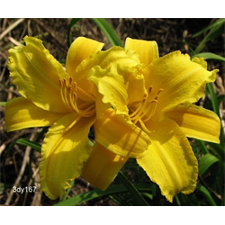 Daylily clump Mary Todd (Ships Oct thru June)