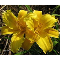 Daylily Mary Todd (5 plants per pkg - Ships Oct thru June)