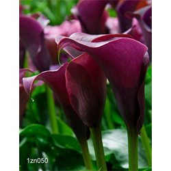 Zantedeschia Lavender (3 bulbs per pkg - Ships March thru June)
