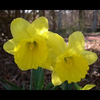 Daffodil Lg. Cup Gigantic Star (10 bulbs per pkg - Ships Oct thru Jan)
