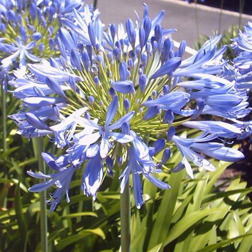 Agapanthus Blue Donau (3 Plants Per Pkg