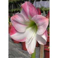 Amaryllis Jumbo Potted Bulb Kit - Apple Blossom (ships Nov thru Jan)