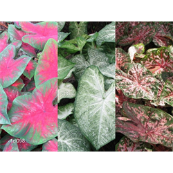 Caladium Collection (30 bulbs per collection - Ships March thru June)