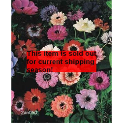 *FALL 2020* Anemone coronaria St. Brigid Mixture (25 bulbs/pkg - Ships Oct