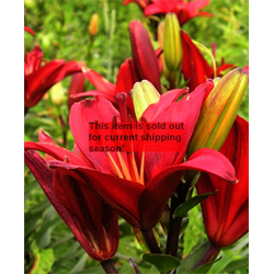 *SOLD OUT* Lily Asiatic Red (5 bulbs per pkg - Ships Oct thru June)
