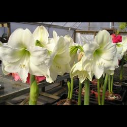 Amaryllis Garden White (1 per pkg - Ships March thru June