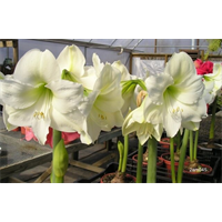 Amaryllis Jumbo Potted Kit - Mont Blanc (ships Nov thru Jan)