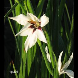 Gladiolus Calianthus (25 bulbs per pkg - Ships March thru June)