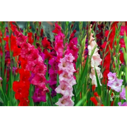 Gladiolus bulk Mixed (½ BU - Ships March thru June)