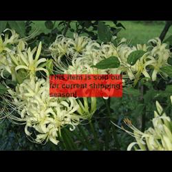 *SOLD OUT* Lycoris albiflora (3 bulbs per pkg - Ships Oct thru Jan)