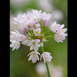 Allium roseum (25 bulbs per pkg - ships Oct thru Jan)