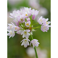 Allium roseum (25 bulbs per pkg - ships Oct thru Jan)