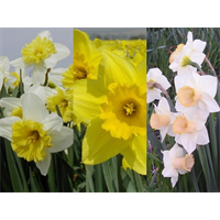 Daffodil Large Cup Collection (60 bulbs per collection - Ships Oct thru Jan)