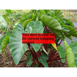 *SOLD OUT* Colocasia esculenta Hawaiian Punch® (3 bulbs per pkg - Ships March t
