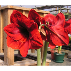 Amaryllis Jumbo Potted Bulb Kit - Red Lion (ships Nov thru Jan)