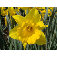 Daffodil Trumpet Unsurpassable (10 bulbs per pkg - Ships Oct thru Jan)