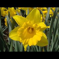 Daffodil Trumpet Unsurpassable (10 bulbs per pkg - Ships Oct thru Jan)