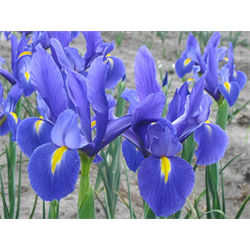 Dutch Iris Blue Ribbon (10 bulbs per pkg - Ships Oct thru Jan)