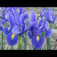 Dutch Iris Blue Ribbon (10 bulbs per pkg - Ships Oct thru Jan)