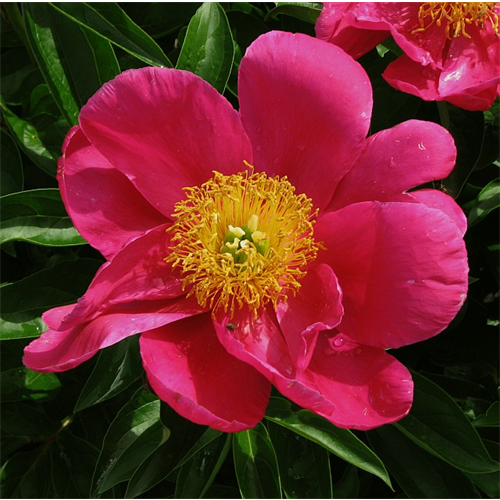 Peony Clump Adolphe Rousseau (Ships Oct thru Jan)