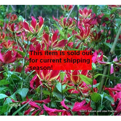 Gloriosa s. Himalayan Select (3 bulbs per pkg - Ships March thru June)