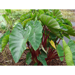 Colocasia esculenta Hawaiian Punch® (3 bulbs per pkg - Ships March thru June)