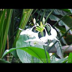 Eucharis x grandiflora (5 bulbs per pkg - Ships March thru June)