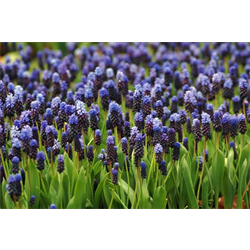 Muscari latifolium (25 bulbs per pkg - Ships Oct thru Jan)