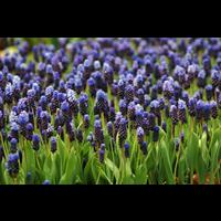 Muscari latifolium (25 bulbs per pkg - Ships Oct thru Jan)