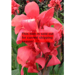 Canna bulk Giant Pink (½ BU - Ships March thru June)