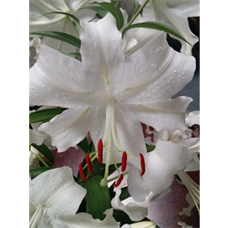 Lily Oriental Siberia (5 plants per pkg - Ships Oct thru June)