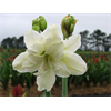 Additional images for Amaryllis Garden White Double (1 per pkg - Ships March thru June