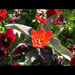 Tulip Greigii Red Riding Hood (10 bulbs per pkg - Ships Oct thru Jan)